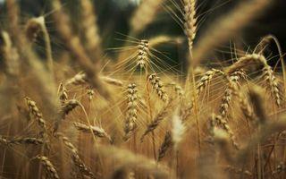 Фото бесплатно пшено, трава, стебли