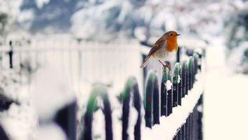 Бесплатные фото птичка,маленькая,забор,перья,оперение,окрас,зима