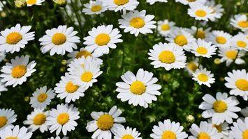 Обои ромашки, лепестки, белые, стебли, зеленые, поле, цветы