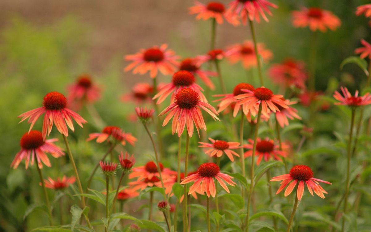 Фото бесплатно ромашки, красные, лепестки, серединка, трава, листья, поле, клумба, лето, цветы, цветы