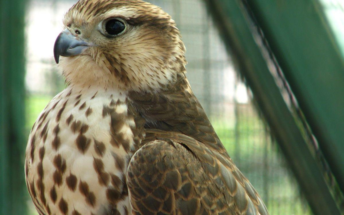 Фото бесплатно сокол, хищник, клюв, глаза, перья, крылья, птицы, птицы