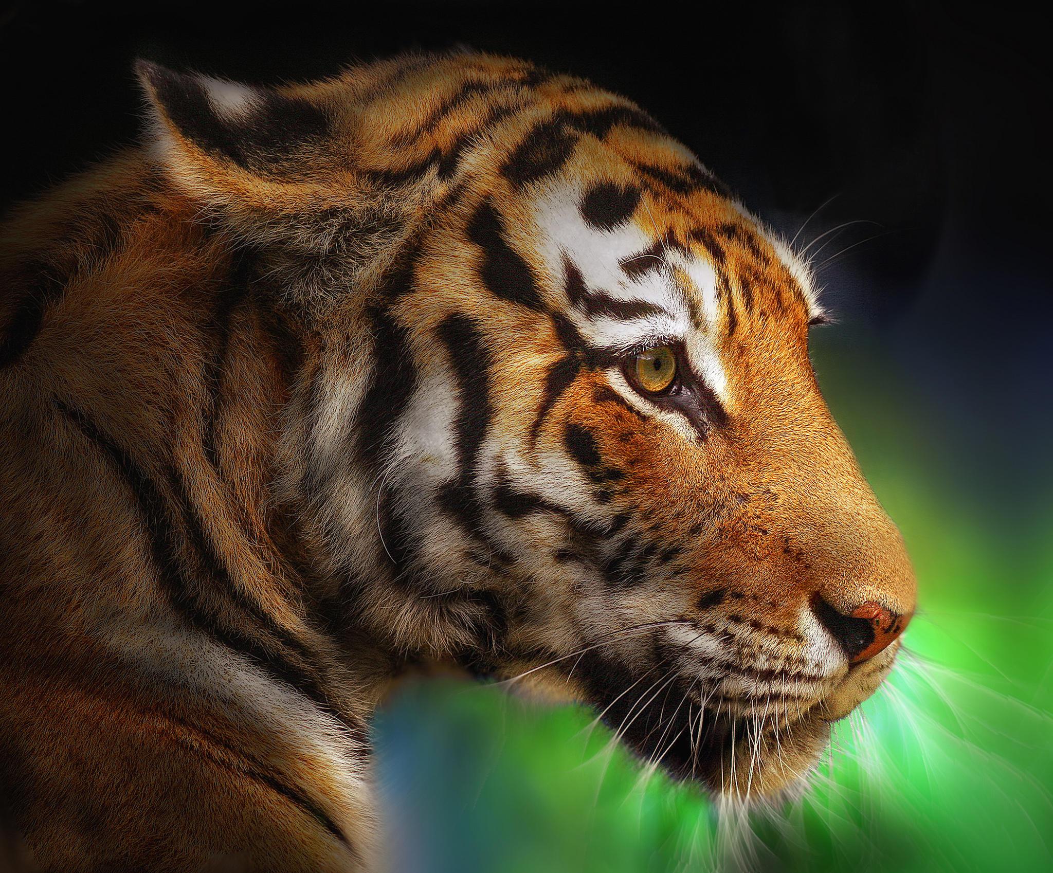 Обои тигр, хишник, животное