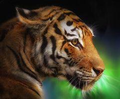 Заставки тигр, хишник, животное