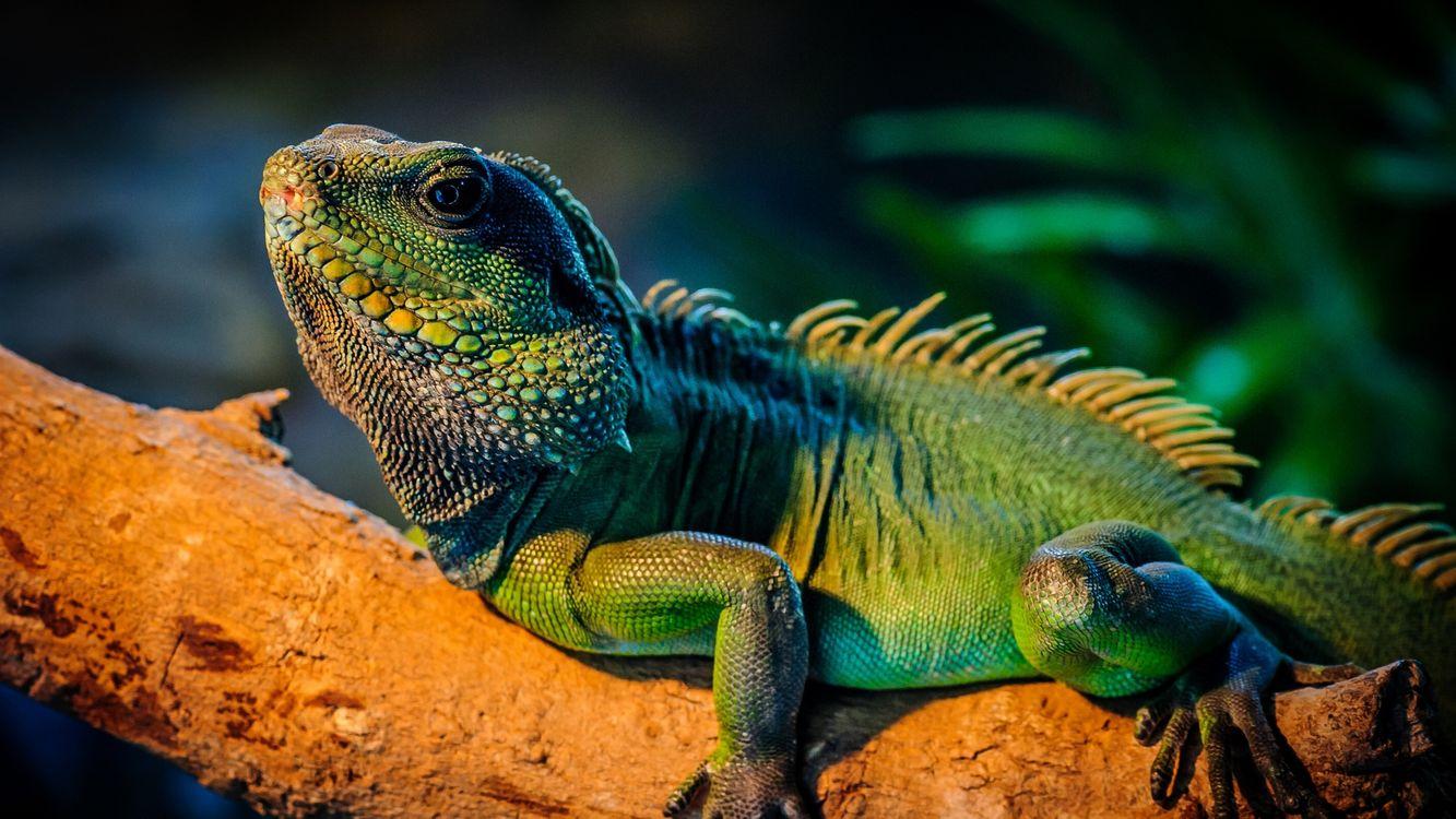 Фото бесплатно варан, ящерица, хамелеон, зверь, лапы, окрас, кожа, животные, животные