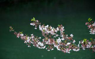 Заставки ветка,вишня,дерево,весна,цветет,цветки,лепестки
