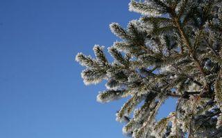 Фото бесплатно зима, сосна, снег