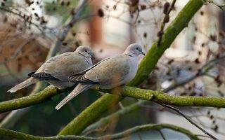 Бесплатные фото дерево,ветви,голуби,пара,перья,хвосты,клювы