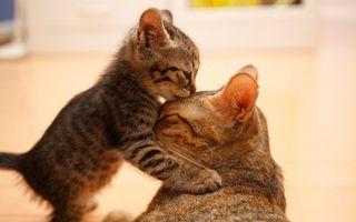 Фото бесплатно кошка, мама, котенок