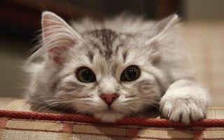 Фото бесплатно кошки, уши, шерсть