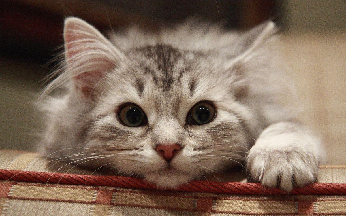 Фото бесплатно кот, голова, шерсть, порода, окрас, пушистый, глаза, нос, лапы, усы, уши, кошки, кошки