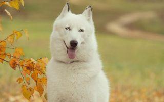 Заставки пес, белый, морда