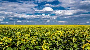 Фото бесплатно поле, небо, подсолнухи