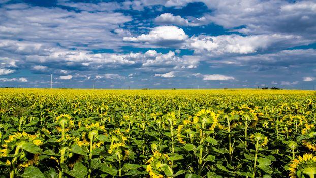 Бесплатные фото поле,небо,подсолнухи,пейзаж
