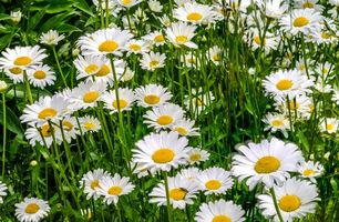 Photo free field, daisies, flowers