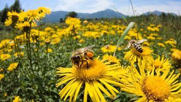Обои поле, ромашки, пчелы, шмель, мед, нектар, небо, голубое, облака, горы, крылья, полосатый
