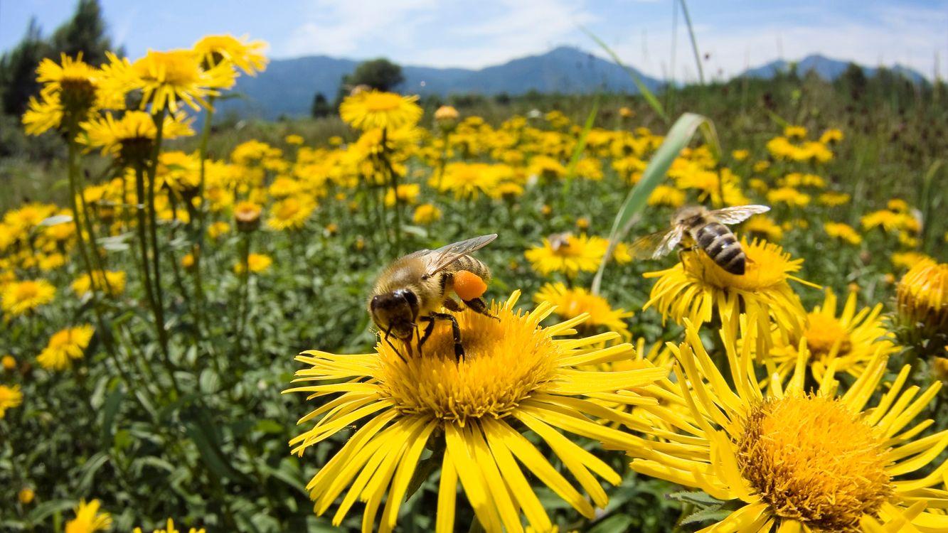 Фото бесплатно поле, ромашки, пчелы, шмель, мед, нектар, небо, голубое, облака, горы, крылья, полосатый, жало, макро, пейзажи, природа