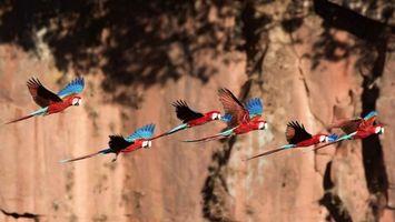 Фото бесплатно попугаи, крылья, синие