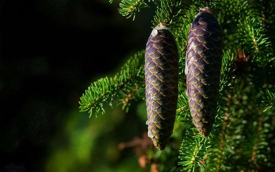 Photo free cones, spruce, branches