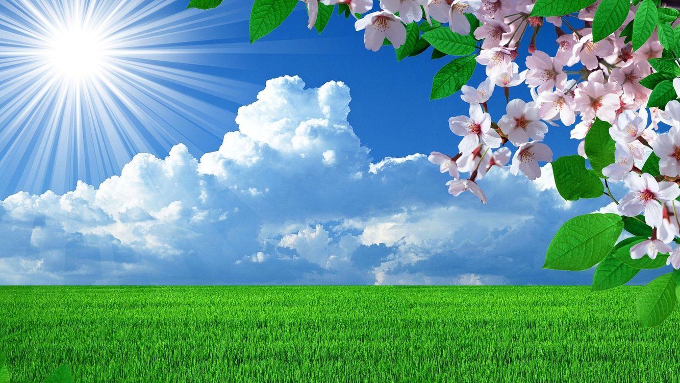 Фото бесплатно вишня, цветки, бутоны, ветка, весна, трава, газон, поле, солнце, облака, горизонт, пейзажи, цветы, цветы