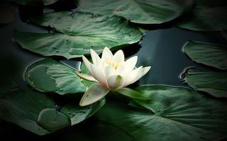 Фото бесплатно лотос, вода, квітка