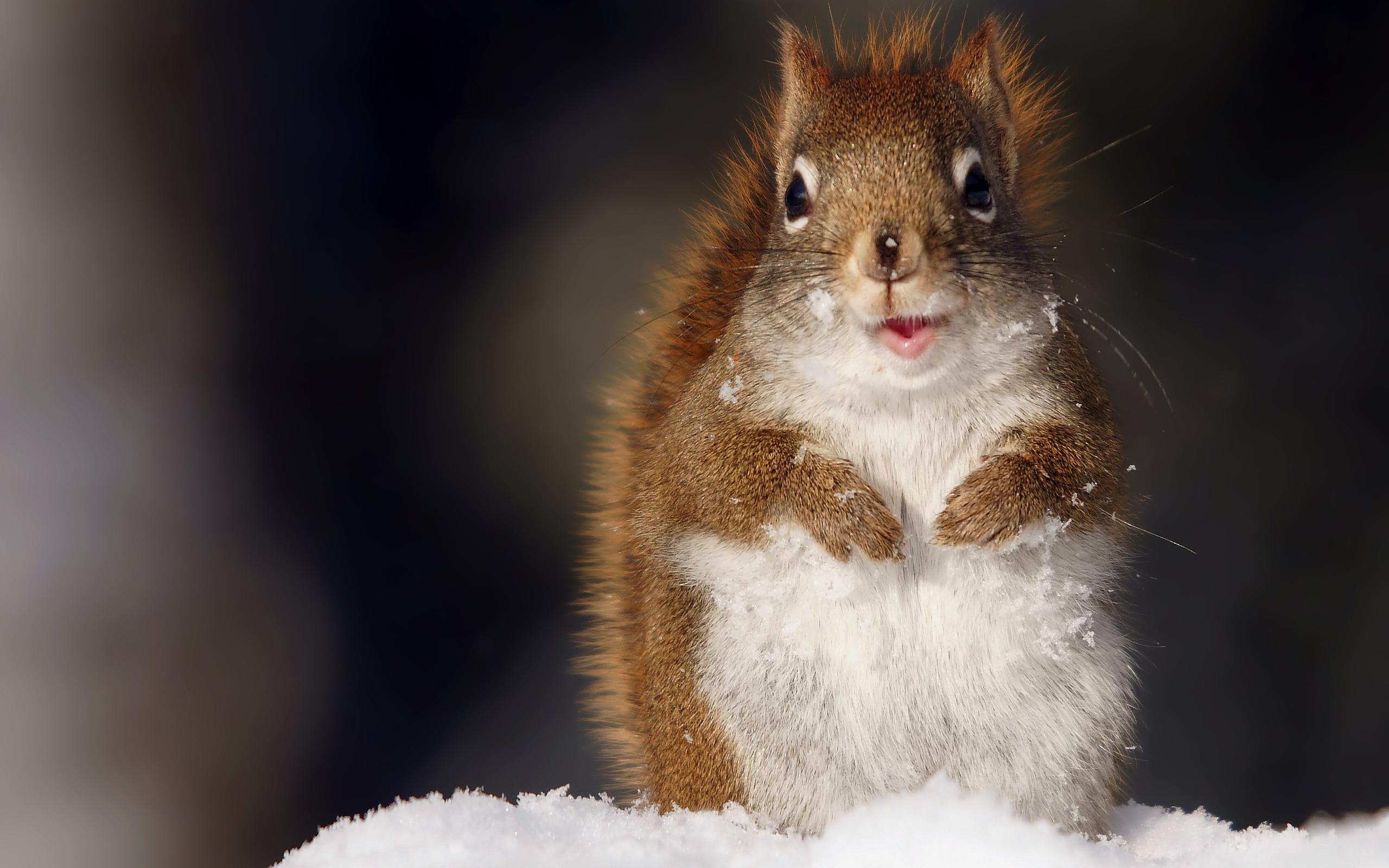 Белка зимой в снегу моется животные