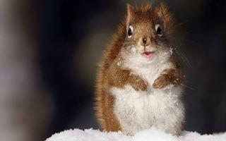Фото бесплатно белка, зимой, в снегу