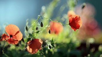 Фото бесплатно цветы, красные, шипы