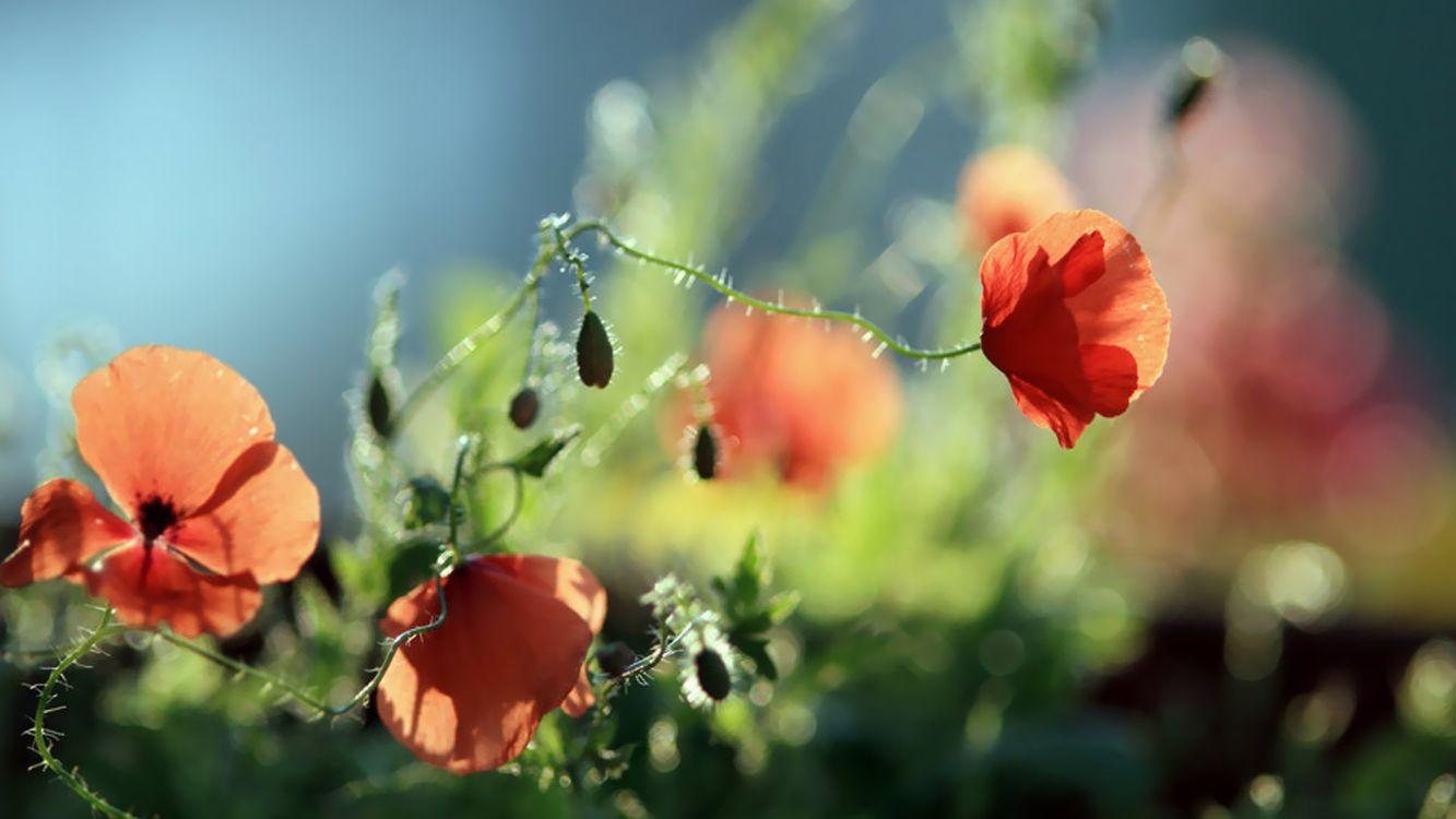Фото бесплатно цветы, красные, шипы - на рабочий стол