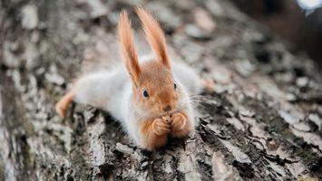 Бесплатные фото белка,усы,уши,лапки,глаза,дерево,животные