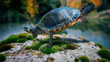 Бесплатные фото черепаха,гимнаст,на одной лапе,панцирь,камень,мох,юмор
