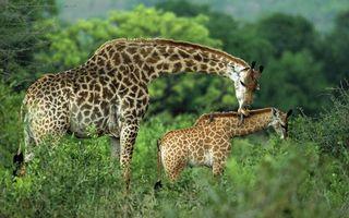 Заставки жираф, шерсть, окрас