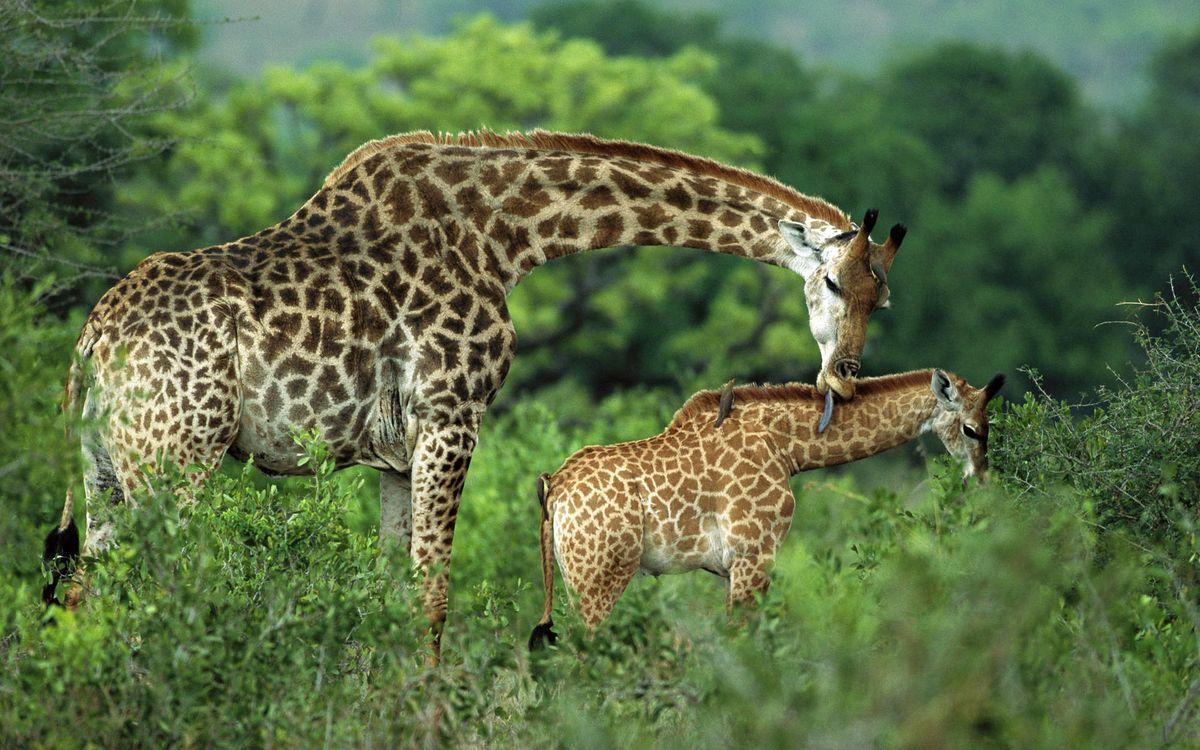 Фото бесплатно жираф, шерсть, окрас - на рабочий стол
