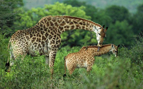 Фото бесплатно жираф, шерсть, окрас