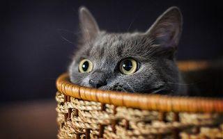 Бесплатные фото кот,серый,глаза,ушки,спрался,корзинка,кошки