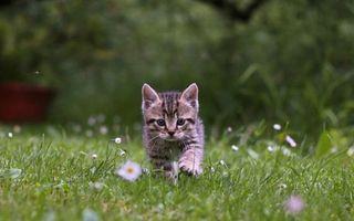 Бесплатные фото котенок,морда,лапы,поляна,трава,цветы,кошки