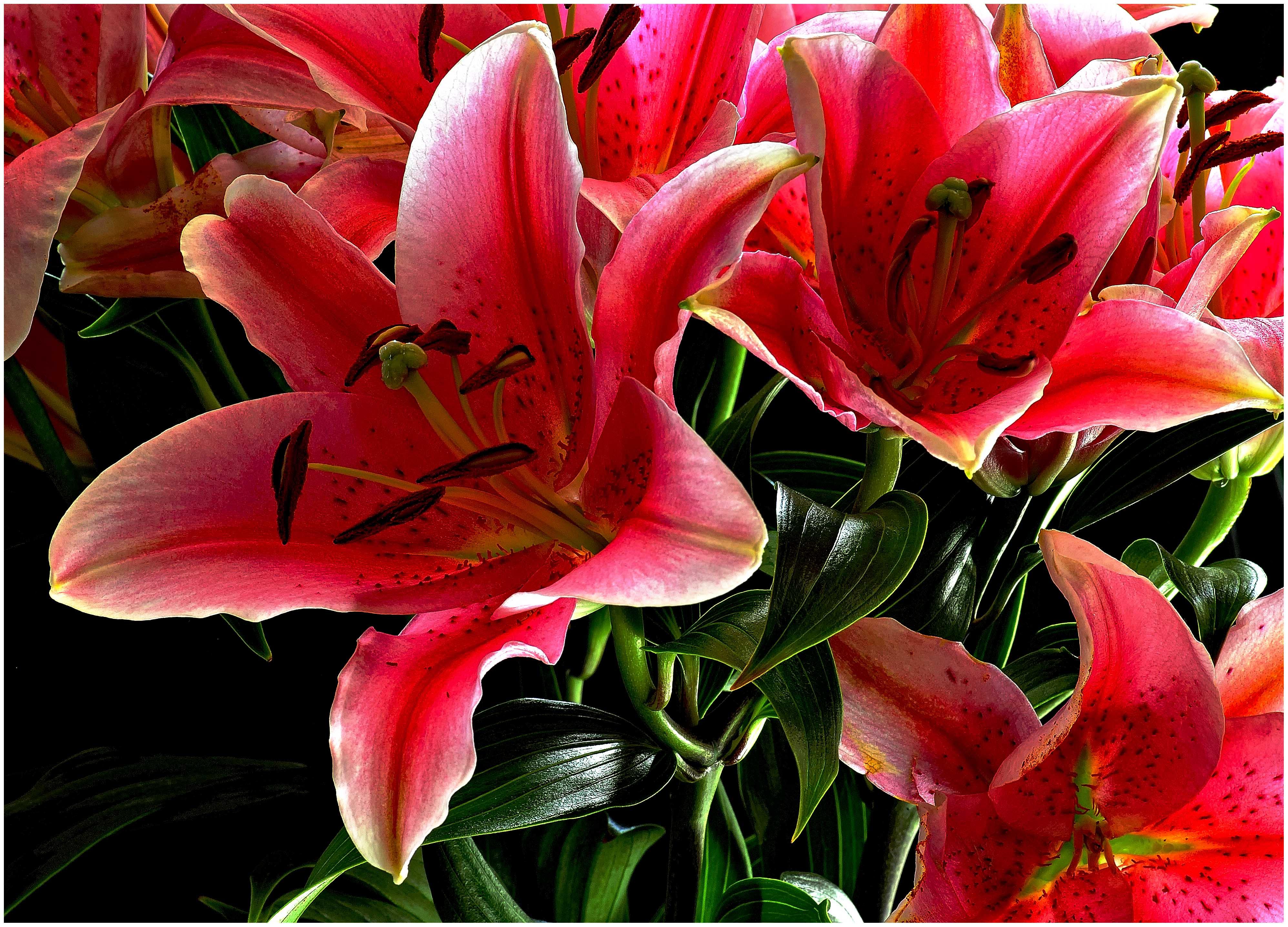 Картинки красивые цветы лилии