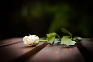 Бесплатные фото роза,стебель,листья,шипы,белый,цвет,стол