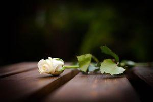 Фото бесплатно роза, стебель, листья
