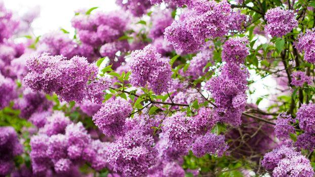 Бесплатные фото сирень,лепестки,ветки,куст,дерево,листья,зелень,цветы