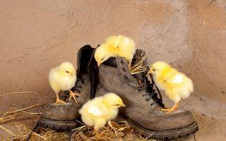 Фото бесплатно цыплята, желтые, клюв