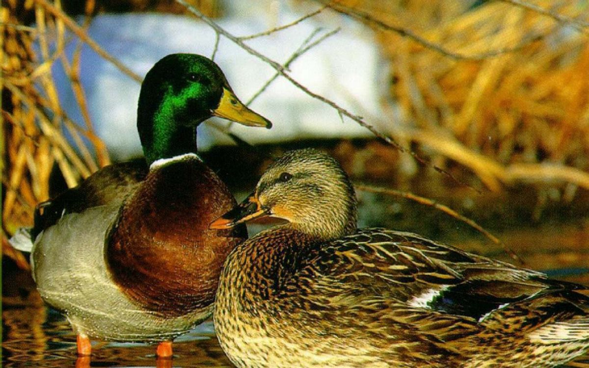 Free photo Ducks, beak, eyes - to desktop