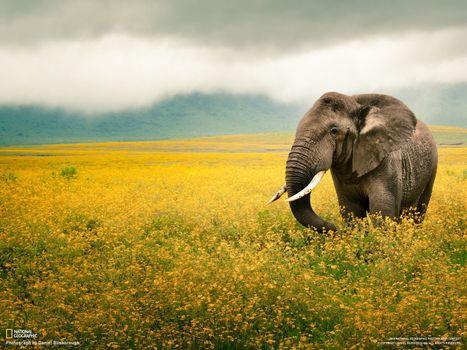 Бесплатные фото слон,поле,цветы,national geographic,небо,пейзажи