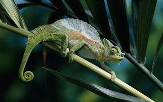 Заставки хамелеон, ящерица, гребень, хвост, лапы, ветка, животные