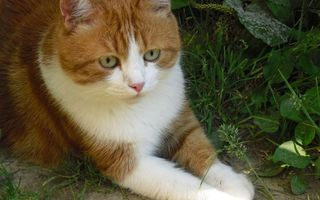 Бесплатные фото кот,лежит,морда,глаза,уши,лапы,трава