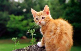 Заставки котенок, кот, рыжий