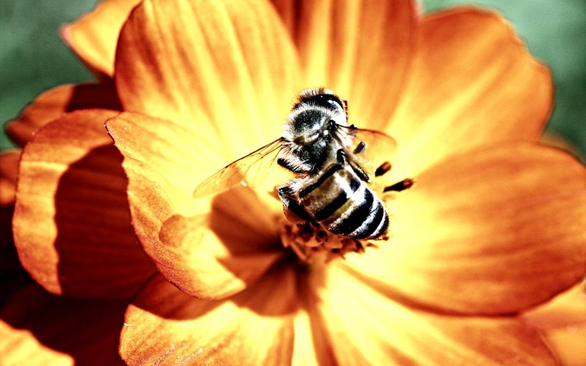 Фото бесплатно пчела, полосатая, крылья - на рабочий стол