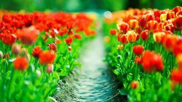 Бесплатные фото поле,луг,тюльпан,лепестки,трава,зелень,листья