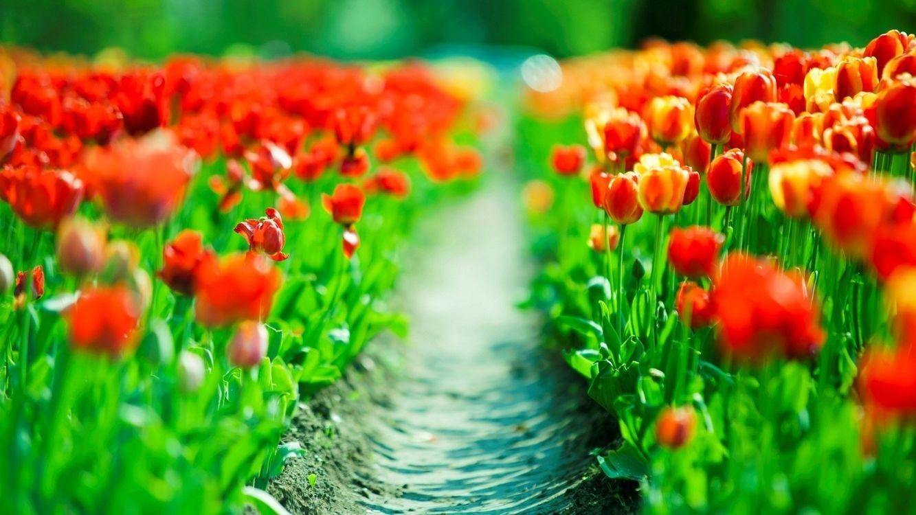 Фото бесплатно поле, луг, тюльпан, лепестки, трава, зелень, листья, стебель, тропа, дорога, земля, песок, цветы, цветы