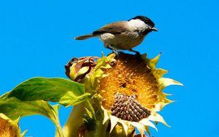 Бесплатные фото птичка,подсолнух,цветок,небо,голубое,глаза,крылья