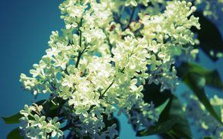 Бесплатные фото сирень,лепестки,дерево,листья,солнце,весна,ветки